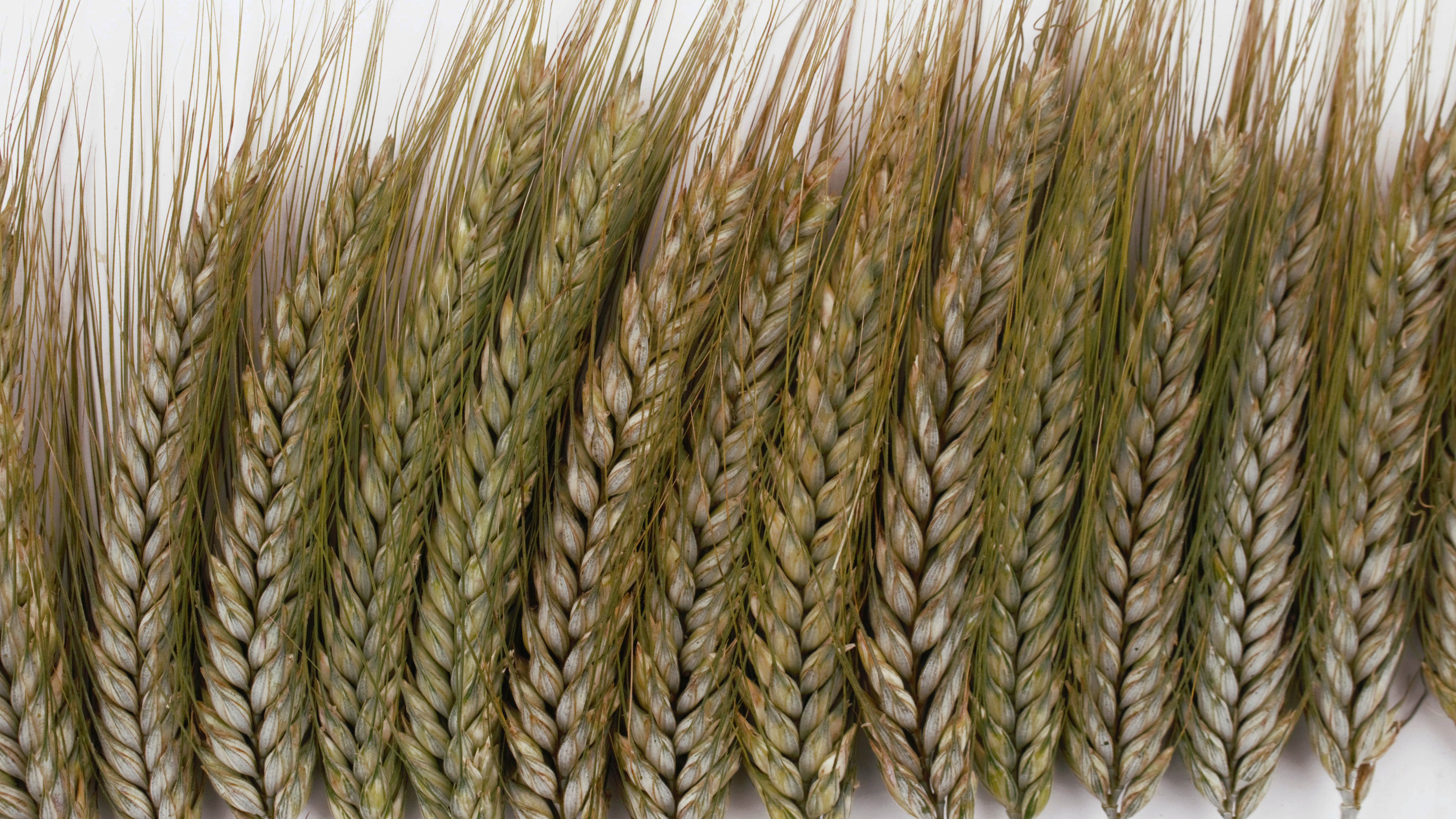 How Do Protein Levels Drive Black Sea Wheat Prices?