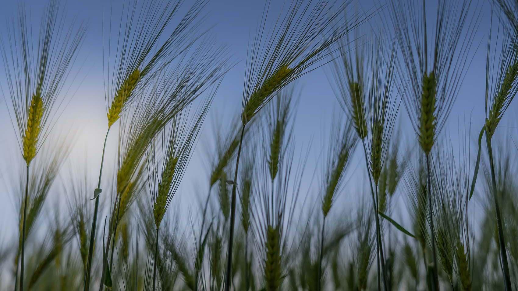 Australia Barley Export Market in 2020