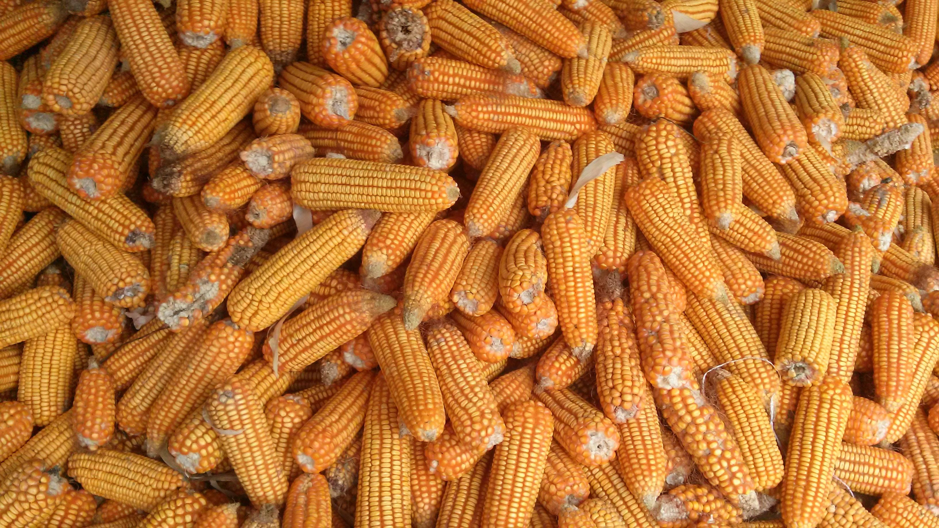 Brazil Corn: How is the First Crop of 2021 Priced ?