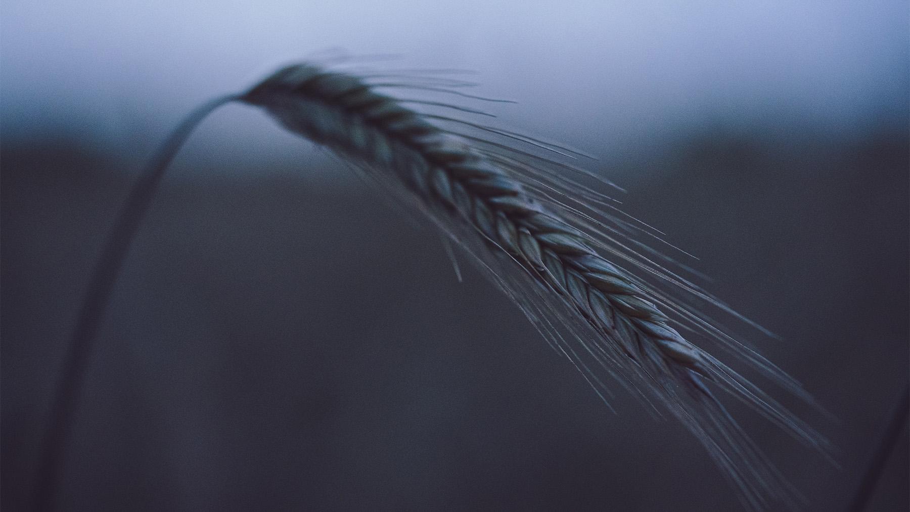 3 Reasons Why Russian Farmers Still Like Wheat