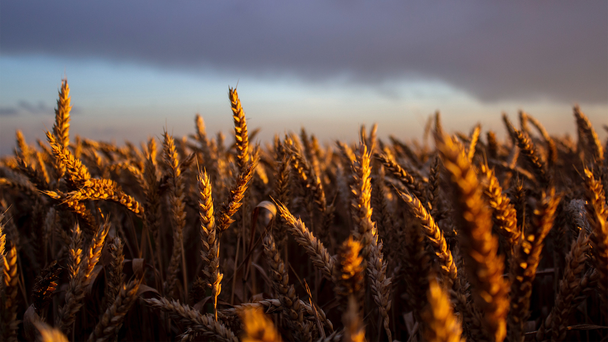 Russian Wheat Prices Tumbled on Bumper Crop Expectations but Starting Yields Don't Confirm Them