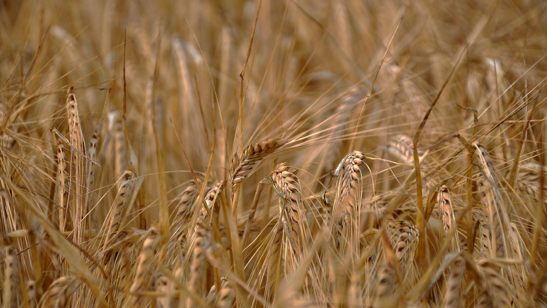 SovEcon cut Russian wheat crop to 76 mmt, USDA's forecast – 85 mmt